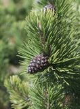 Cône de pin de montagne naine Photo stock