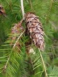 Cône de pin et arbre d'arbre Image libre de droits