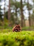 Cône de pin se trouvant sur la mousse dans une forêt pendant l'automne images libres de droits