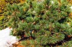 Cône de pin sur un branchement Images stock