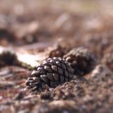 Cône femelle de pin s'étendant au sol Photo libre de droits