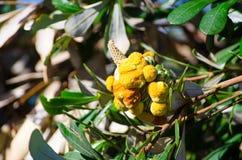 Cône jaune de banksia sur l'arbre dans le jardin d'Australie photographie stock libre de droits