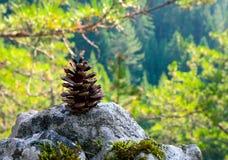 Cône vert de pin sur une pierre au landsc à feuilles persistantes en bois de forêt Image stock