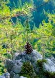 Cône vert de pin sur une pierre au landsc à feuilles persistantes en bois de forêt Images libres de droits