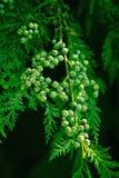 Cônes d'arbre de Cypress images libres de droits