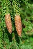 Cônes d'arbre de sapin Image libre de droits