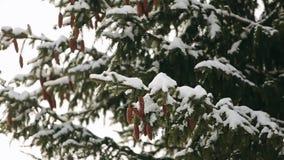 Cônes d'arbre de sapin sur une branche dans le sapin à feuilles persistantes de forêt sur des chutes de neige d'hiver Beau fond d banque de vidéos