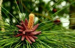 Cônes de fleur d'arbre de pin Photographie stock
