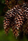 Cônes de pin Photo libre de droits