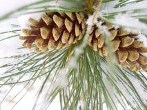 Cônes de pin d'hiver Images libres de droits
