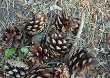Cônes de pin dans la forêt d'automne image libre de droits