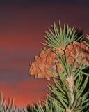 Cônes de pin de pignon contre un ciel coloré Images libres de droits