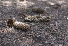 Cônes de sapin au sol en parc Cônes de pin au sol Photos stock