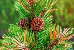 Cônes du pin carpathien sur une branche avec les aiguilles vertes images libres de droits