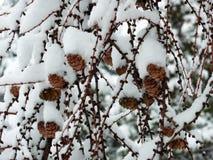 Cônes en hiver Photographie stock
