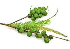 Cônes et lames de Cypress chauve photo libre de droits