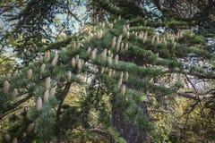 Cônes masculins croissants en gros plan sur les branches du libani de Cedar Tree Cedrus ou du cèdre du Liban photos libres de droits