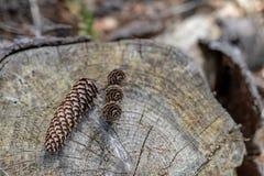 Cônes sur un tronçon dans les graines d'arbre forestier dans un support conifére photos libres de droits