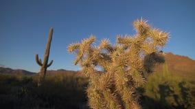 Côté de cactus de Cholla banque de vidéos