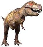 Côté de Tyrannosaurus vers le haut images libres de droits