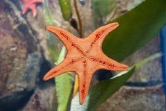 Côté en dessous d'étoiles de mer Images stock