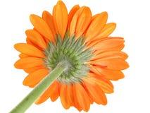 Côté en dessous d'orientation orange de marguerite de Gerber sur le sépale Photographie stock