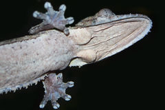 côté en dessous de gecko photo stock