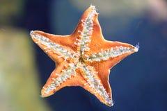 Côté en dessous des étoiles de mer Photos stock