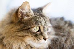 Côté norvégien de chat de forêt Photographie stock libre de droits