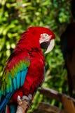 Côté-vue d'un ara viridipenne photos libres de droits