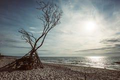 Côte de mer baltique avec un arbre inextricable photo stock