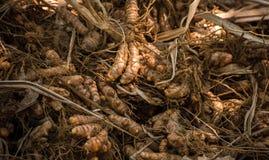 Cúrcuma que cosecha en la especia Kerala imagen de archivo