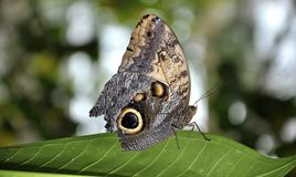 cążków motyli parthenos Sylvia Fotografia Stock