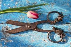 Cążki i rżnięty tulipan Fotografia Royalty Free