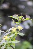 Cążki motyl Obraz Royalty Free
