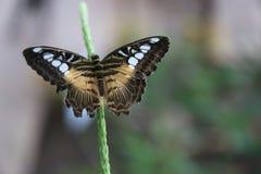 Cążki motyl Zdjęcie Stock