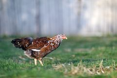 Cętkowany brown ładny kurny patrzeć dla jedzenia w jardzie Obrazy Stock