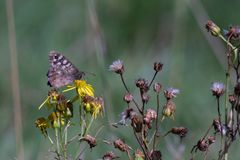 Cętkowany Drewniany motyli Pararge aegeria na dandelion kwitnie obrazy stock