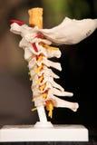 c模型脊椎 免版税库存图片
