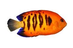 c热带鱼的loriculus 库存照片