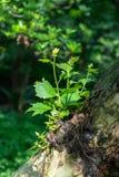 C'è un'erba che cresce sull'albero Immagine Stock Libera da Diritti