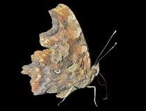 C-альбом 3 Polygonia бабочки Стоковое Изображение