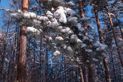 33c 1月横向俄国温度ural冬天 与白色雪花的Xmas背景 阳光在冬天森林里 图库摄影