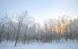 33c 1月横向俄国温度ural冬天 充分结构树雪 免版税库存照片