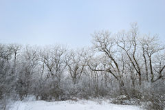 33c 1月横向俄国温度ural冬天 充分结构树雪 图库摄影