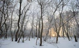 33c 1月横向俄国温度ural冬天 充分结构树雪 库存图片