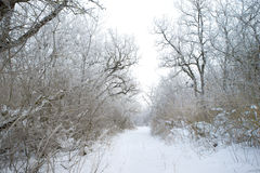 33c 1月横向俄国温度ural冬天 充分结构树雪 免版税库存图片