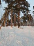 33c 1月横向俄国温度ural冬天 冬天自然秀丽  绿色和白色蓬松雪的组合由明亮的太阳光芒点燃了 免版税库存照片
