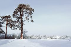 33c 1月横向俄国温度ural冬天 冷淡的高杉树在冬天森林和房子里背景的 库存照片