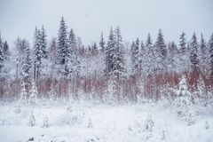 33c 1月横向俄国温度ural冬天 包括的杉木雪结构树 免版税图库摄影